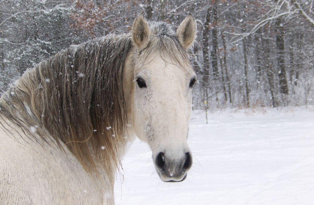Horse Winter Head Snowflake Snow wallpaper