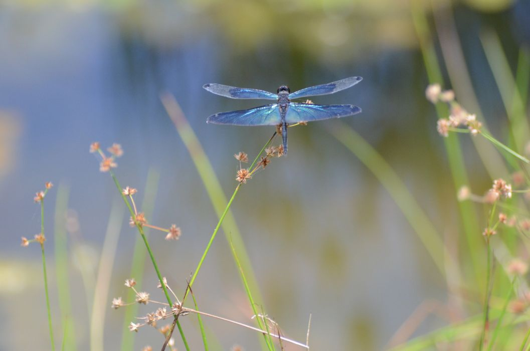 Dragonfly bokeh wings macro wallpaper