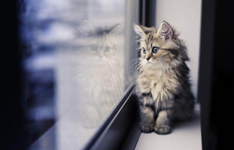 kitten window reflection cat mood wallpaper