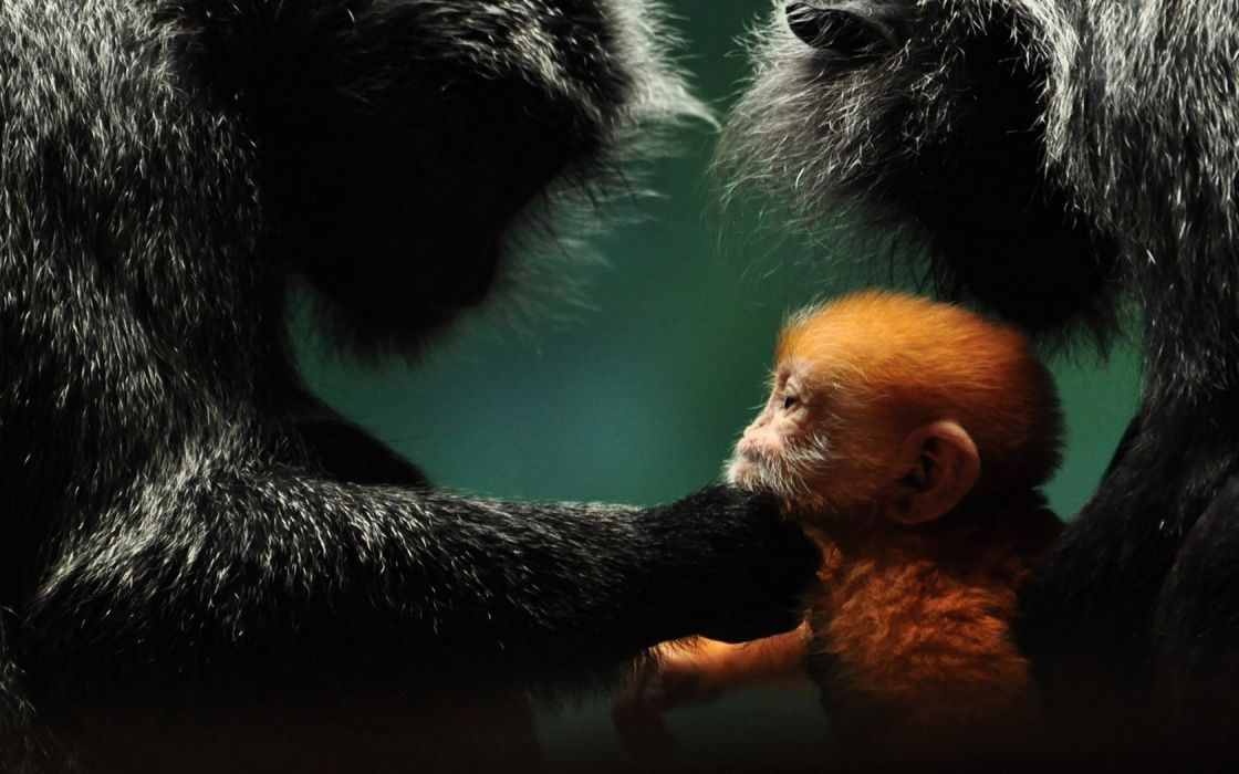 Animals Monkey Baby Parents Cute Love wallpaper