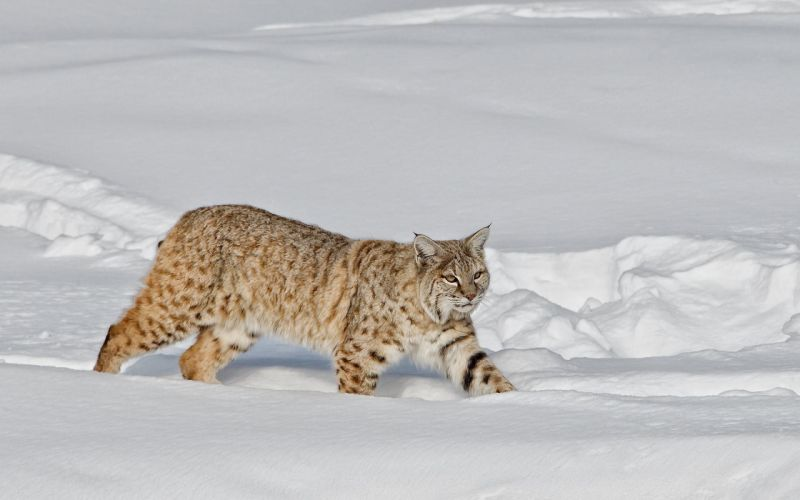 Animals Lynx Snow wallpaper