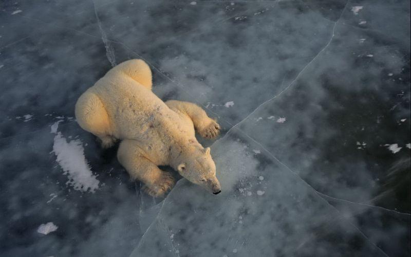 Polar Bear Ice North Pole wallpaper