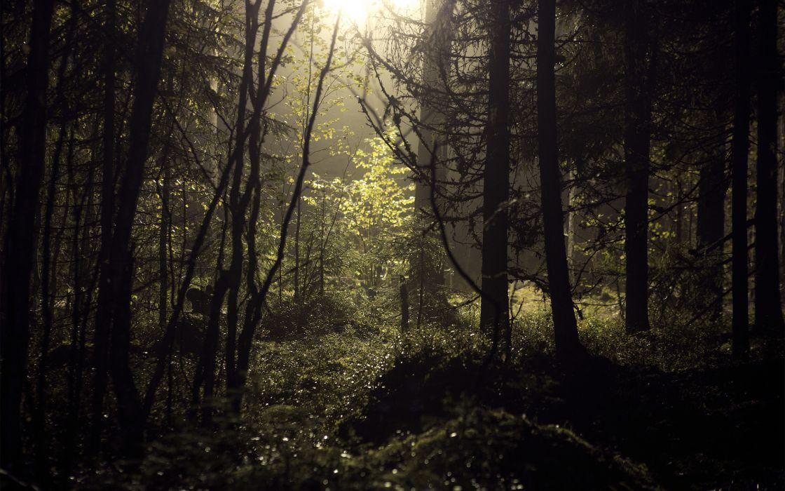 Forest Trees Sunlight wallpaper