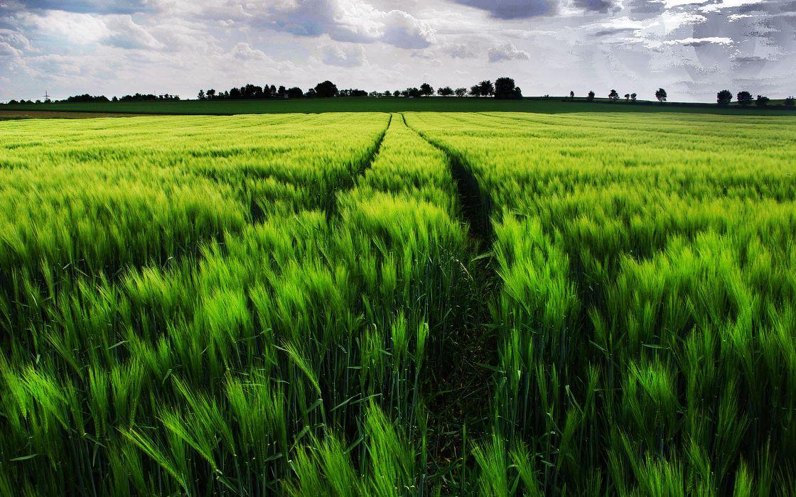 field ears landscape wheat grass wallpaper