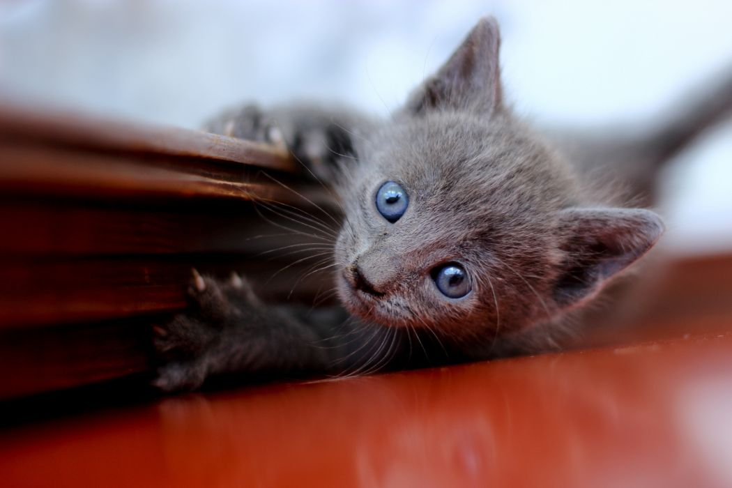 kitten cat wallpaper