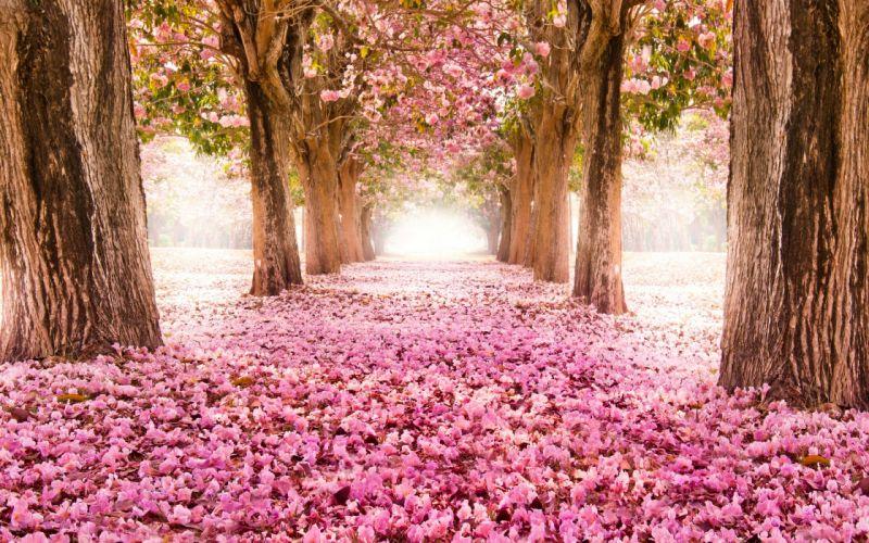 park road sakura alley flower blossom bokeh wallpaper