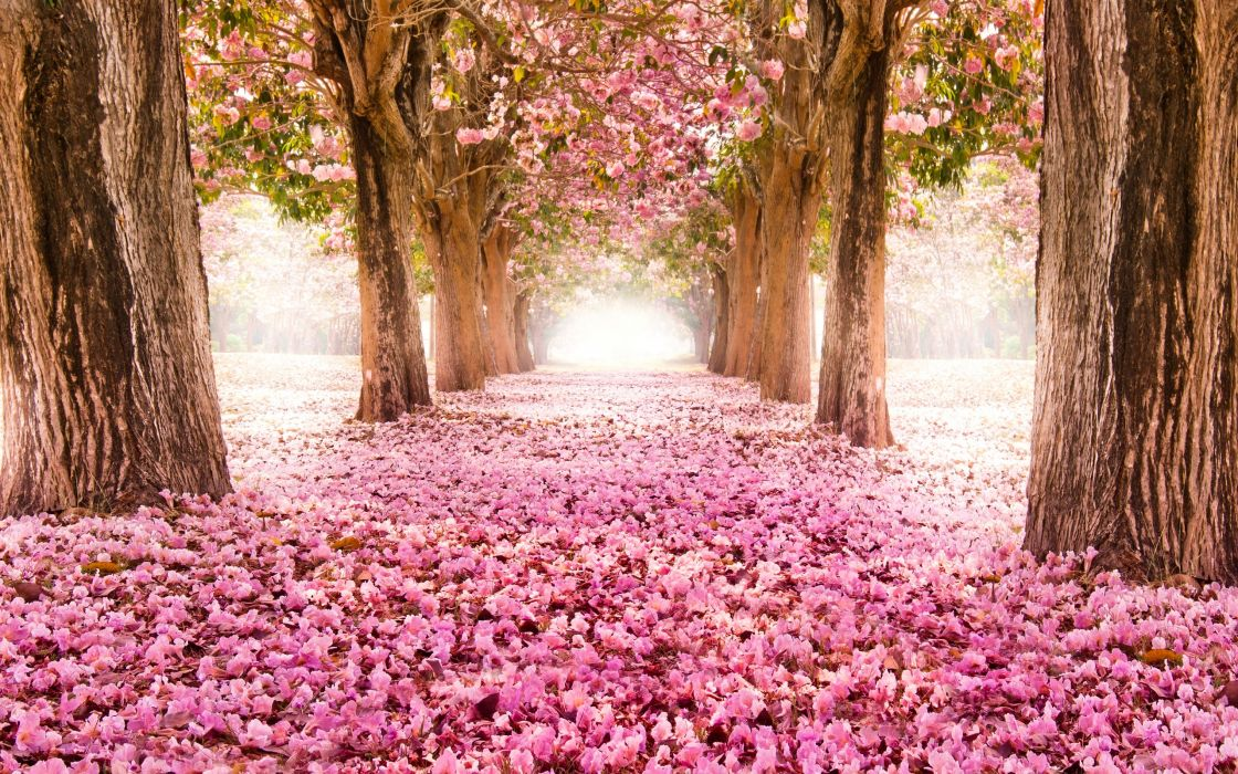 park road sakura alley flower blossom bokeh wallpaper