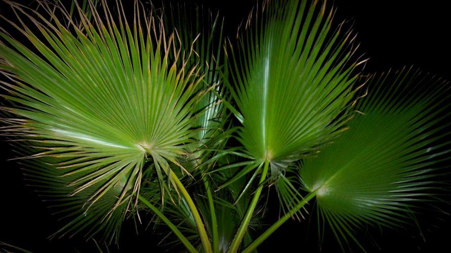 Leaves of a Palmtree wallpaper