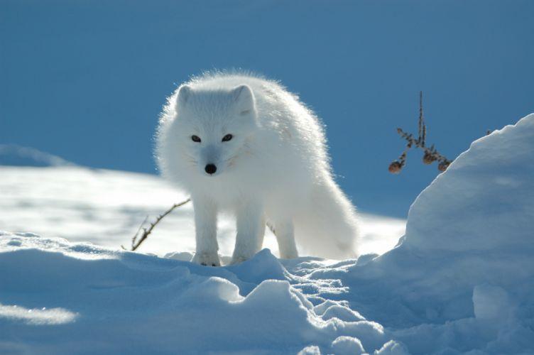 arctic fox wolf snow wallpaper