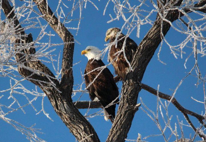 Bald Eagle bird tree branch frost wallpaper