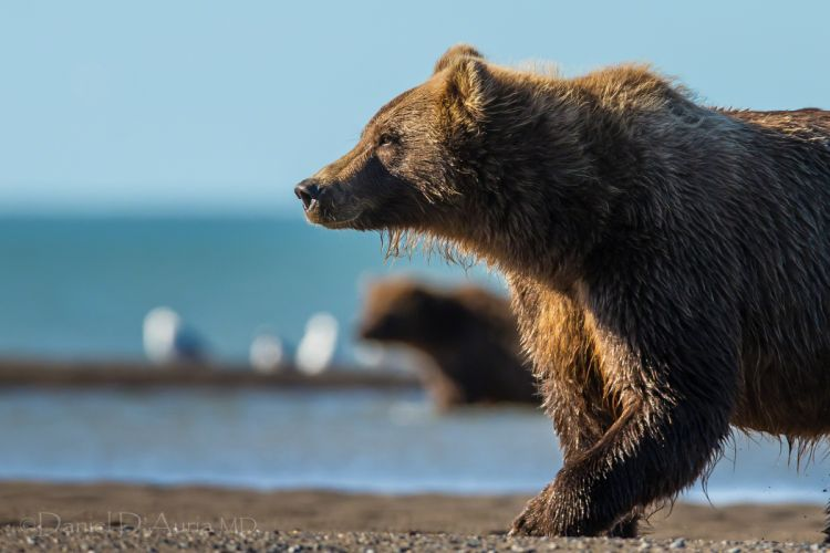bear Bruin river wallpaper