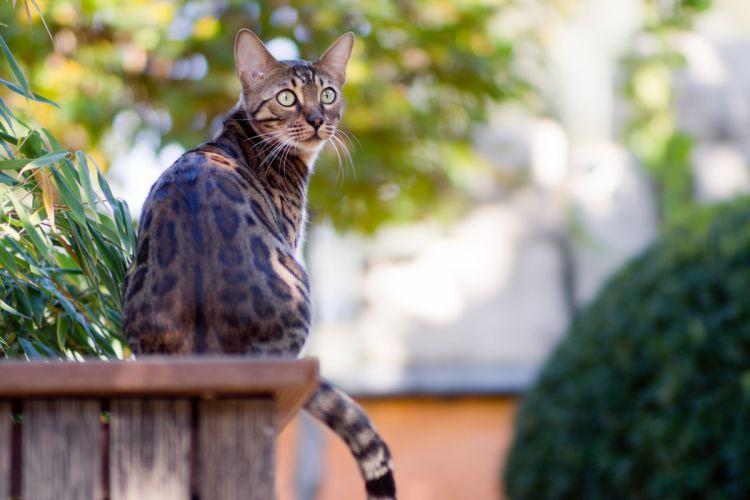 cat Bengal sitting garden greens wallpaper