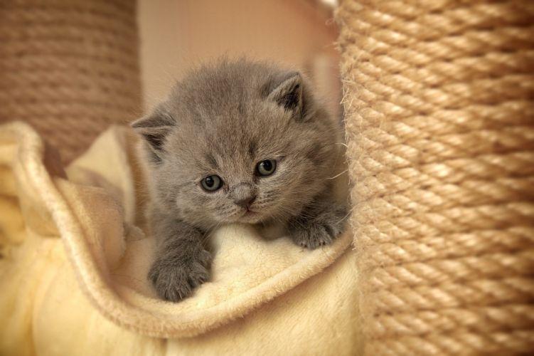 cat kitten gray furry paws wallpaper