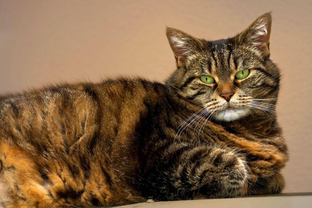 cat tabby green eyes wallpaper