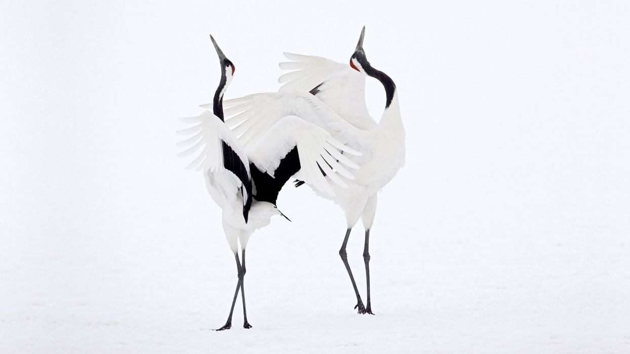 couple snow dance cranes bokeh mood wallpaper