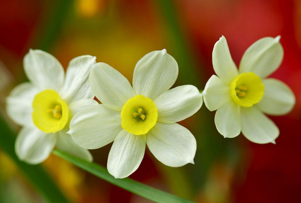 daffodils trio macro wallpaper