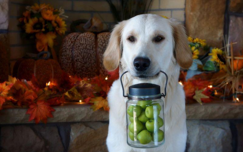 dog apples each thanksgiving wallpaper