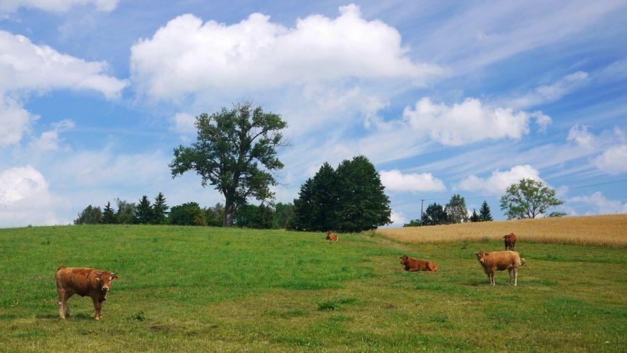 field trees sky kar landscape cow wallpaper