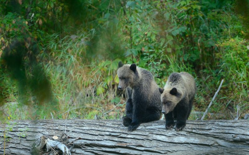 grizzly bear cubs bears timber wood wallpaper