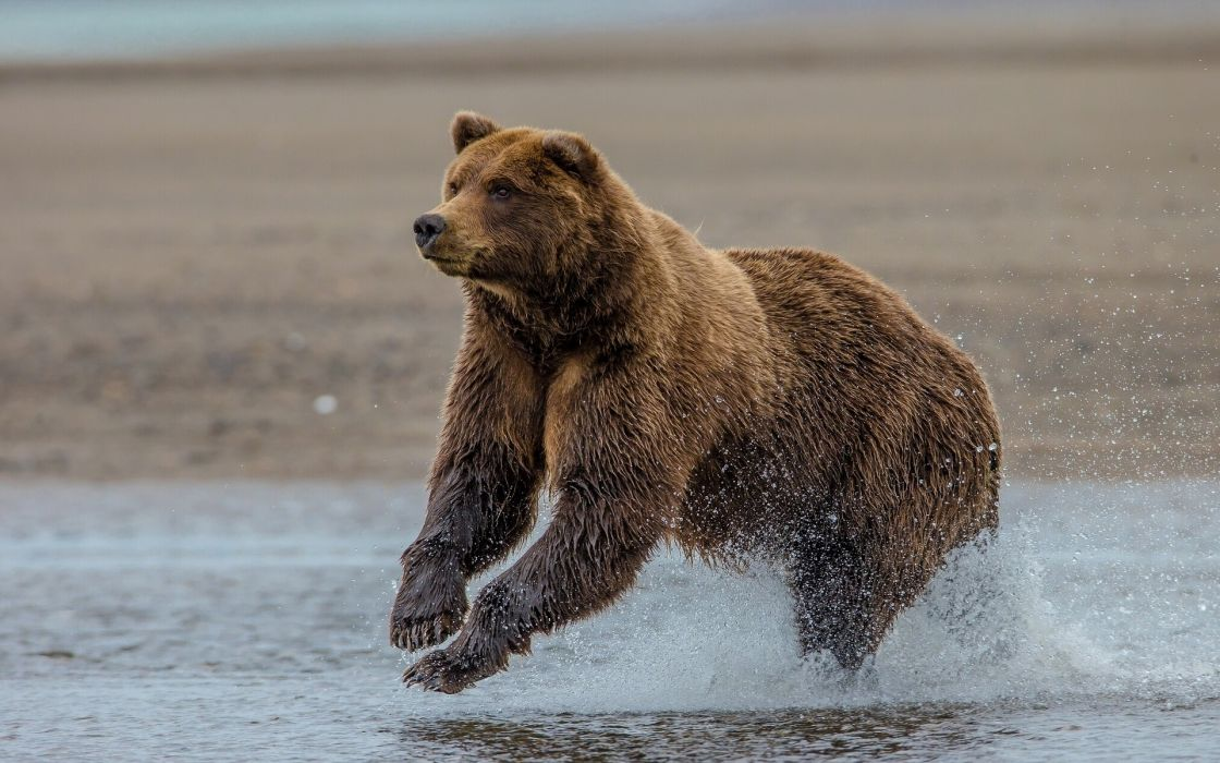 Grizzly Bear Lake Clark Alaska Wallpaper