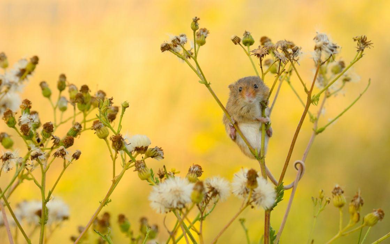 Harvest Mouse wallpaper