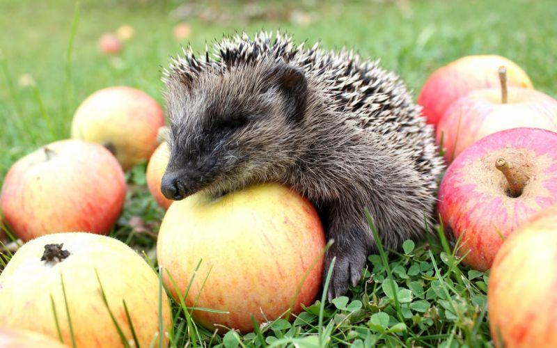 hedgehog apple wallpaper