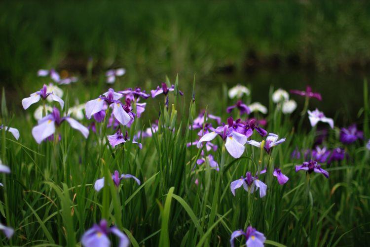 irises purple lilac flowers bokeh wallpaper