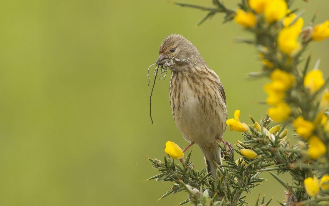 linnet Repola bird branches needles wallpaper