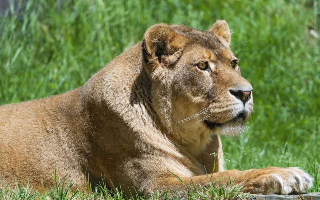 lion wild cat    d wallpaper