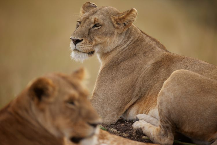 lion wild cat wallpaper