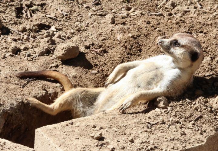 meerkat sunbathing rasslabon relaxation hole wallpaper