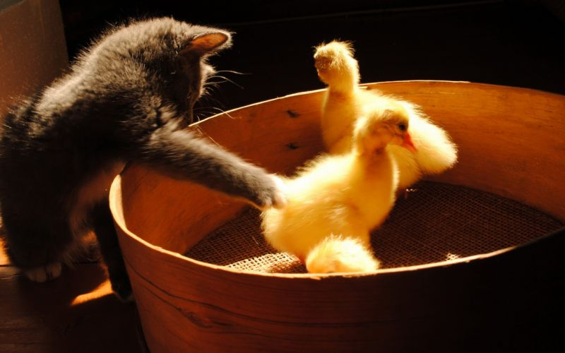 Kitty and Ducklings wallpaper