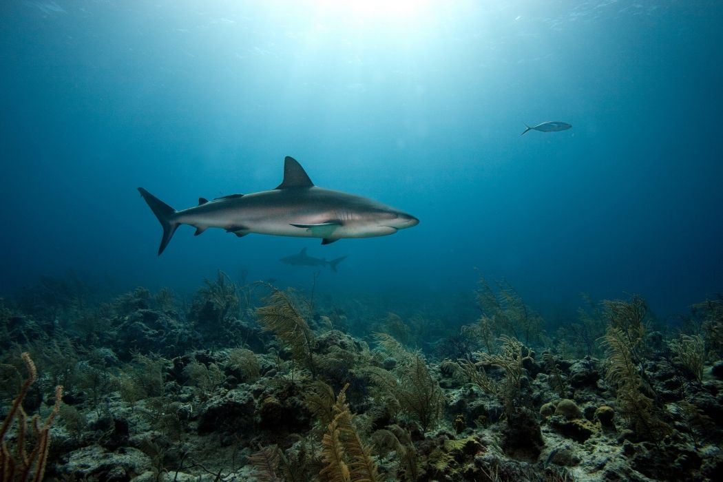 coral bottom predators shark sea underwater wallpaper