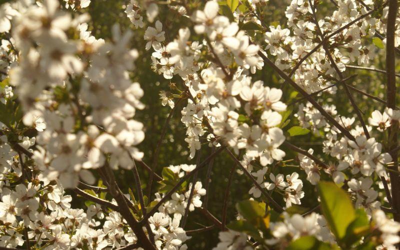 cottage cherry blossom bokeh wallpaper