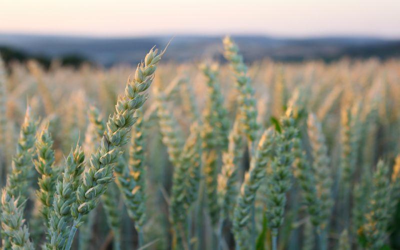 greens ears sky wheat bokeh wallpaper