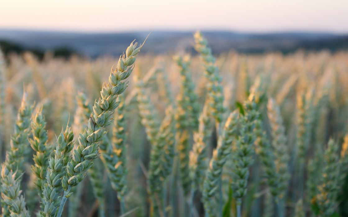 greens ears sky wheat bokeh wallpaper