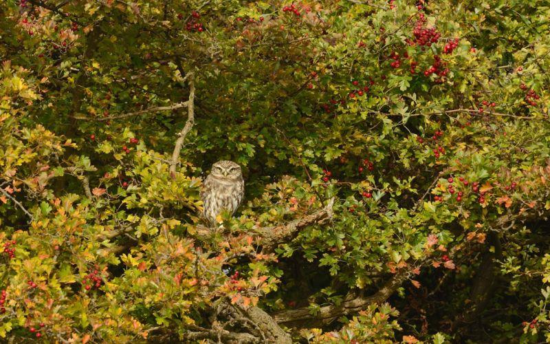 owl bird tree hawthorn wallpaper