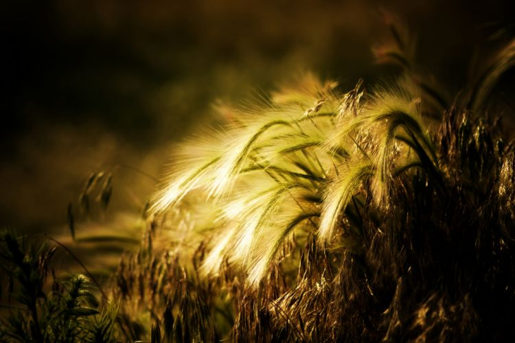 plant wheat rye ears bokeh wallpaper