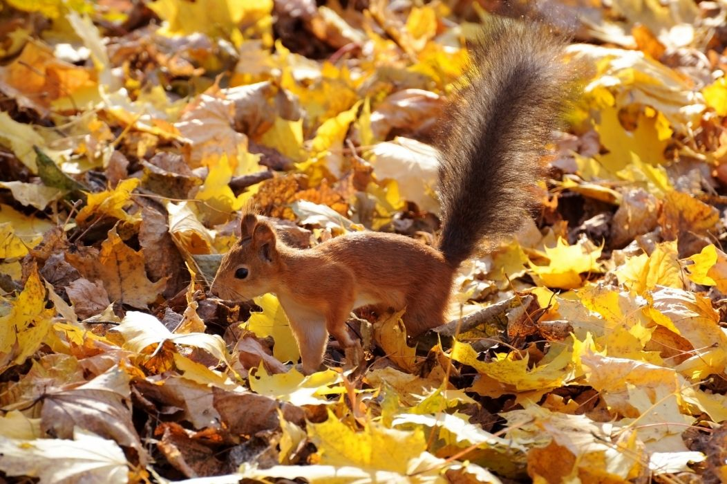 protein red fluffy tail leaves autumn squirrel wallpaper