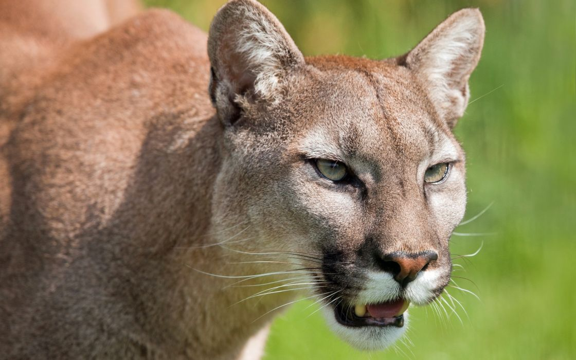 puma cougar mountain lion wild cat muzzle wallpaper