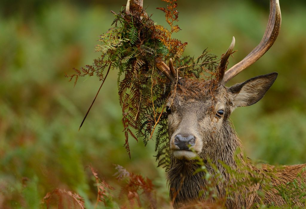 Red Deer eyes horns grass wallpaper