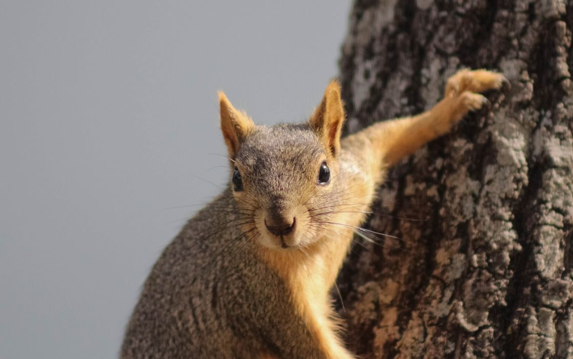 red curious squirrel wallpaper