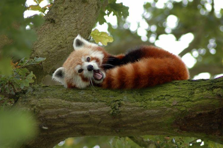 red small tree bear panda wallpaper