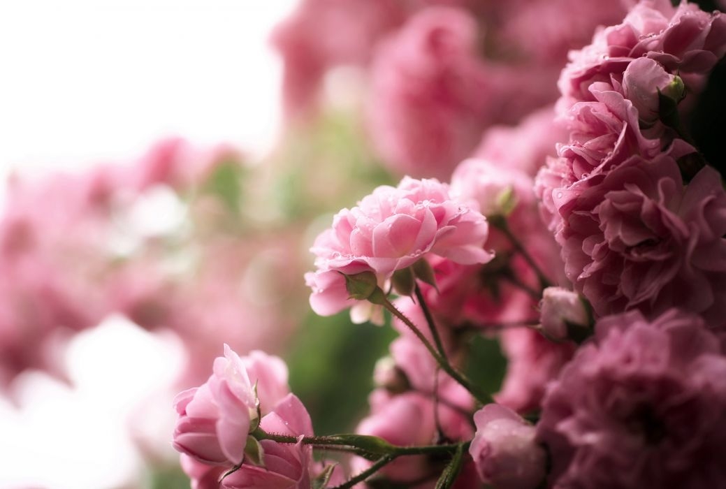 rose tea flowers pink drops bush nature bokeh wallpaper