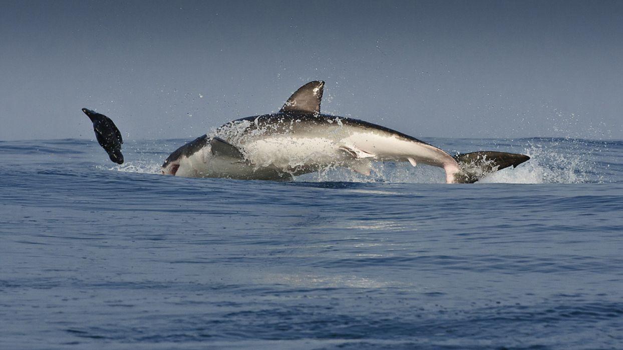 shark chase white wallpaper
