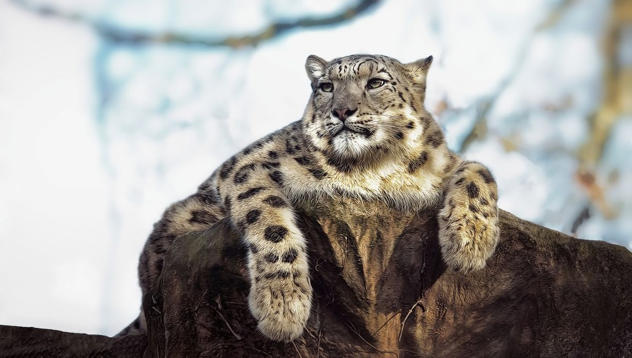 snow leopard posture eyes stone wallpaper