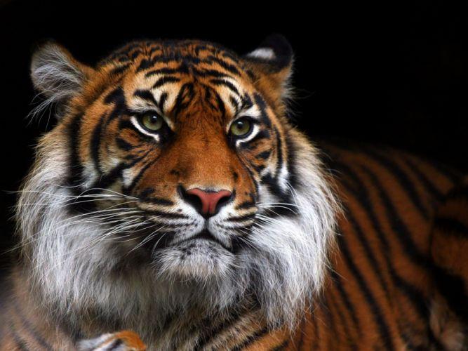 tiger wild cat muzzle f wallpaper