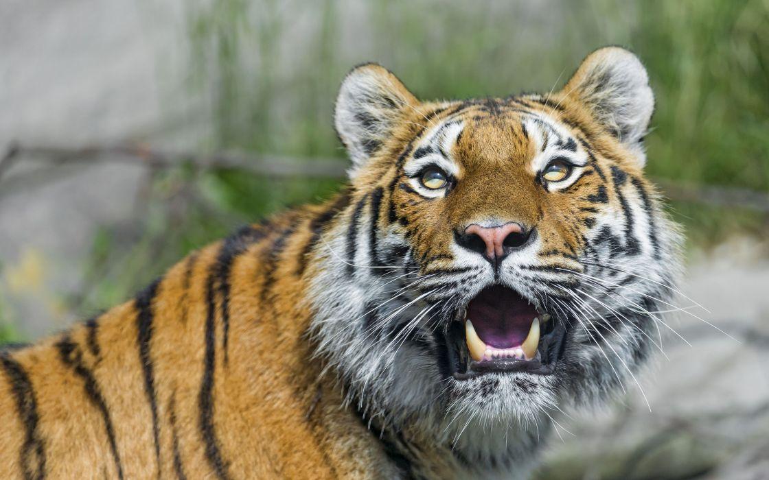 tiger wild cat predator face fangs wallpaper