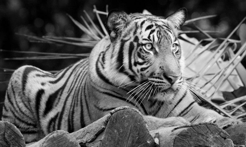 tiger wild cat wallpaper