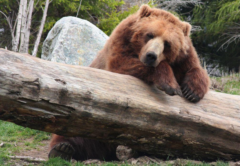 timber bear brown brown bear recreation wallpaper